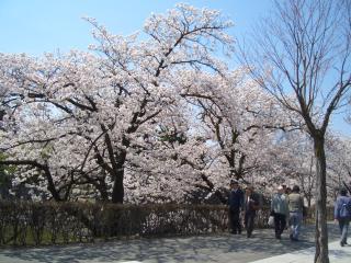 お堀沿いの桜もキレイ