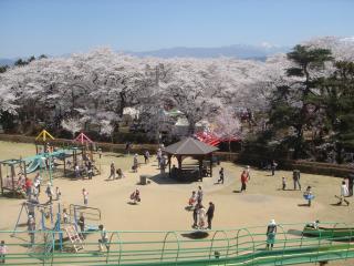 春日公園の桜と仙丈ヶ岳