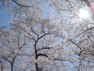 春の桜を楽しめます
