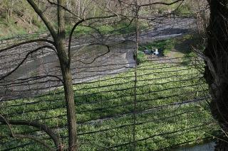 奥に収穫後のわさび畑が見えます