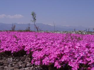 芝桜のピンクじゅうたん