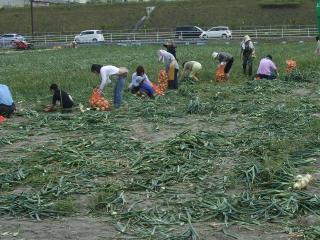 玉ねぎ収穫体験
