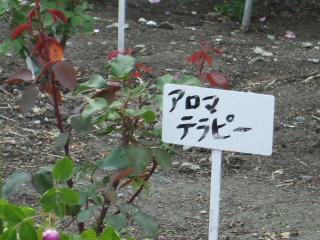 豊科近代美術館バラ園 アロマテラピー