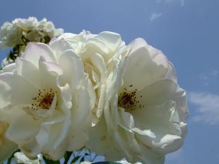 豊科近代美術館バラ園 白いバラ