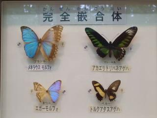 完全嵌合体 蝶