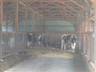 北アルプス牧場 牛