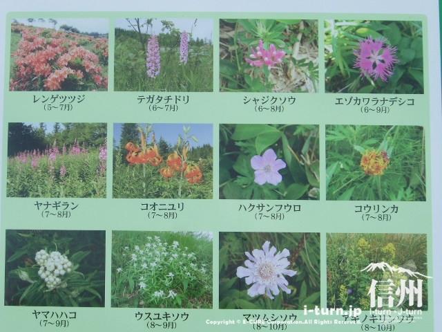 美ヶ原の高山植物