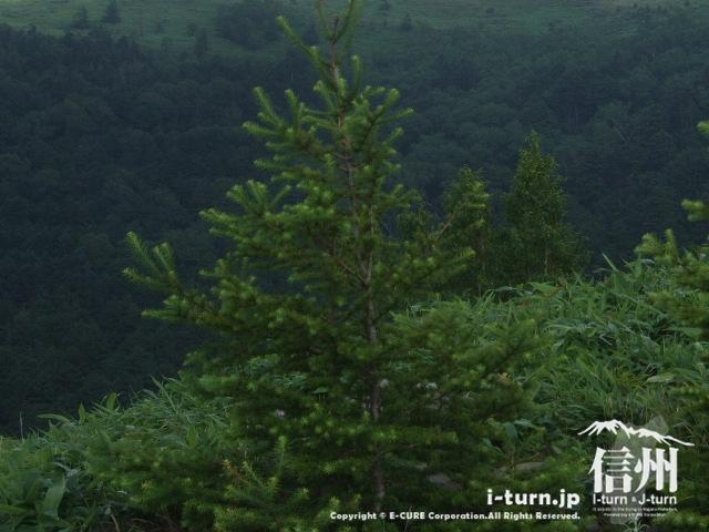 いかにも高山らしい木