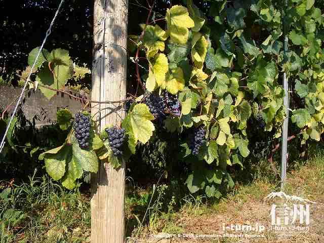 山辺ワイナリーの紫ぶどう