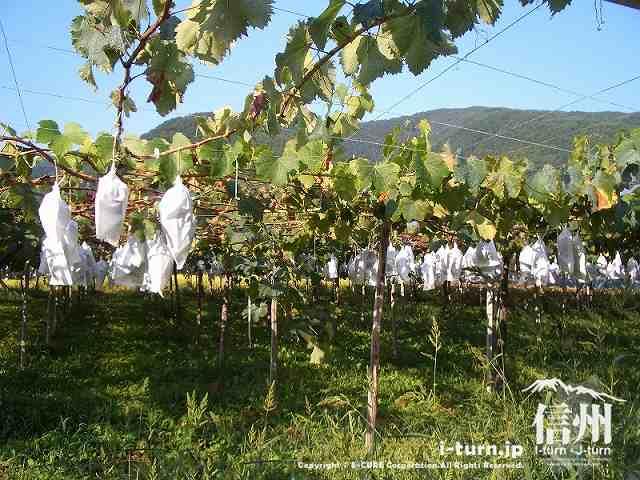山辺ワイナリーのブドウ園