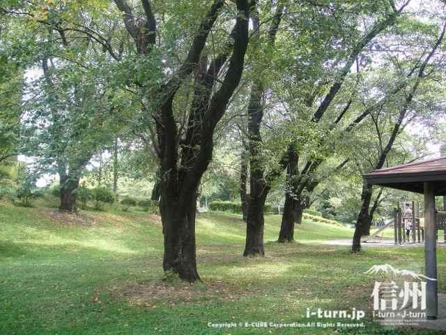 伊那公園 桜の木