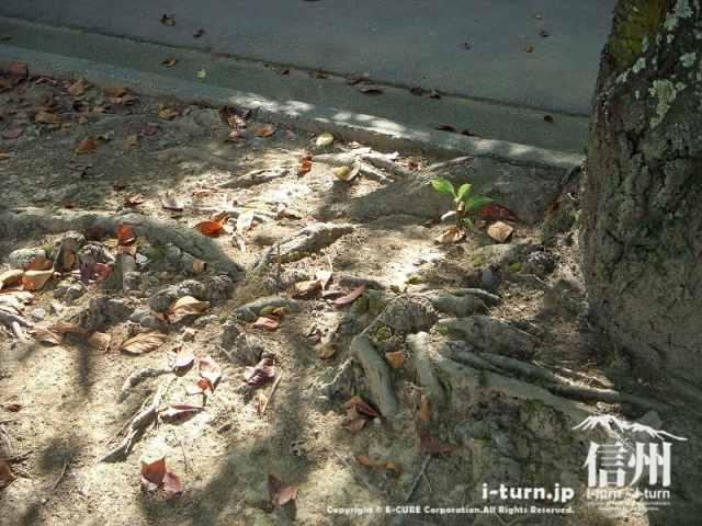 木の根があります、足元注意!