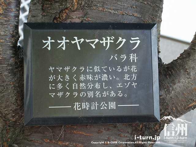 花時計公園 オオヤマザクラの説明