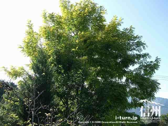 あづみ野の朝 大きな木
