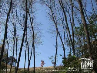 大峰高原新カエデ 周辺の木