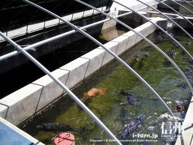 大明神釣堀センター 鯉の養殖場