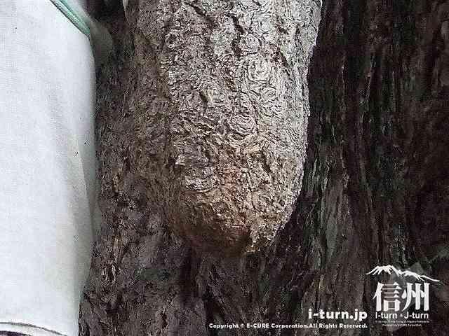 乳房イチョウの乳垂の先っぽ