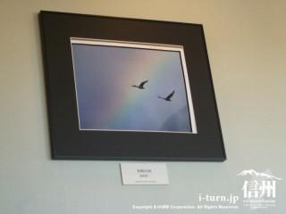 虹をバックに白鳥が飛び立っている写真