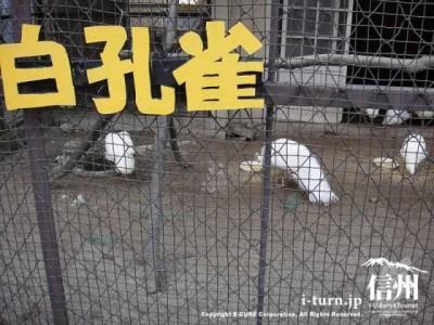 須坂市動物園の白孔雀