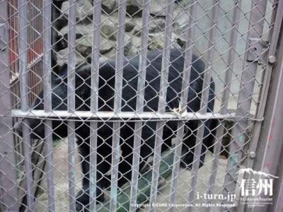 須坂市動物園の月の輪ぐま「大助」