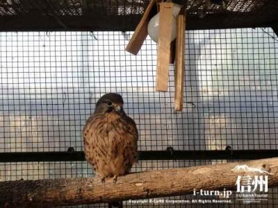 須坂市動物園のチョウケンボウ