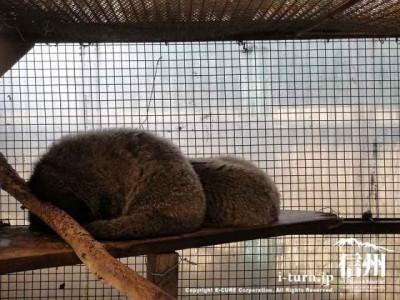 須坂市動物園のハクビシン