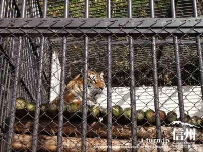 須坂市動物園のベンガルトラ