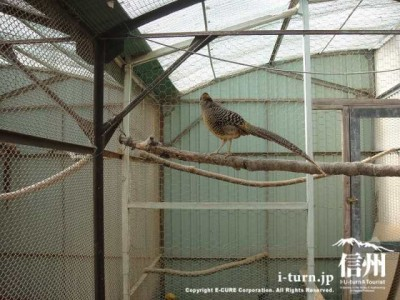 須坂市動物園のキンケイ