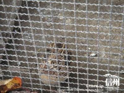 須坂動物園のウズラ