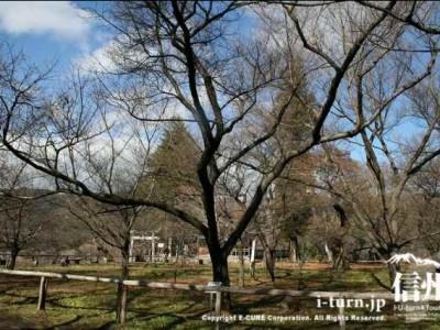新宿区長の記念植樹したタカトウコヒガンザクラ