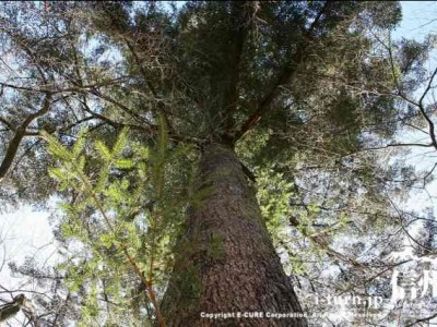 大きなもみの木