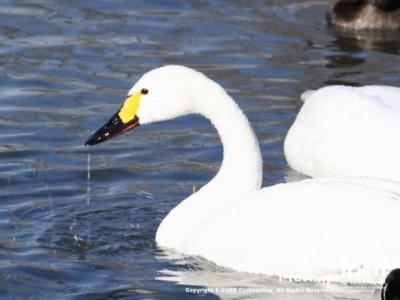 白鳥のくちばしから水