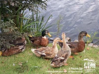 矢ケ崎公園 矢ケ崎公園池と鴨Ⅰ