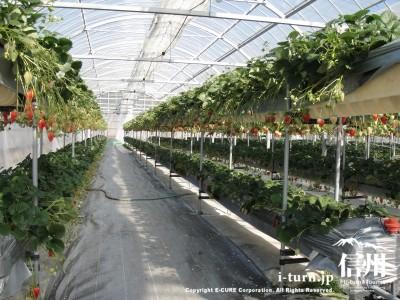 いちご棚は2段の水耕栽培