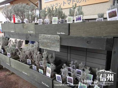 ラベンダーの苗を入口で販売