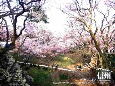 城内すべてに桜が植えてあります