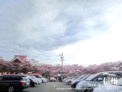 駐車場からの高遠桜