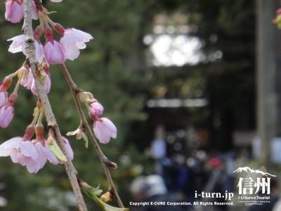 杉並木参道と桜