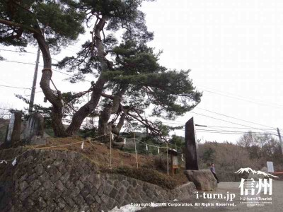 木落とし坂の松