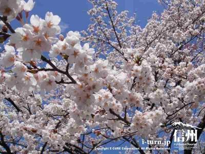 青い空に桜がキレイ
