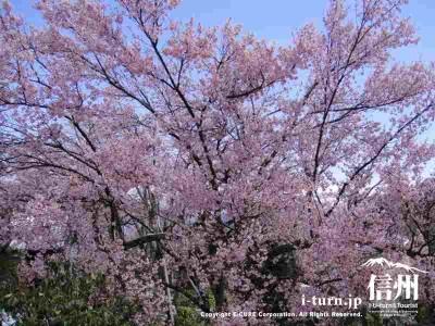 こちらの桜は見頃