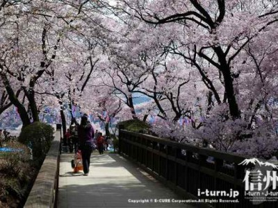 コヒガン桜は見頃