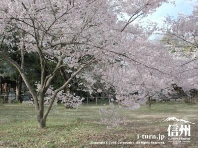 かなり低めの桜