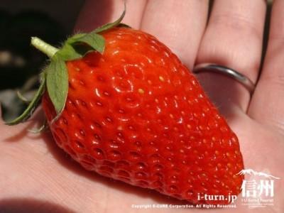大粒で甘いいちご