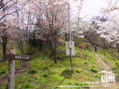 遊歩道桜並木