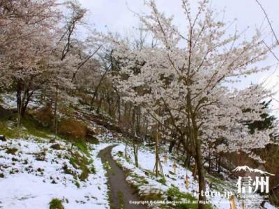 雪が降った桜並木