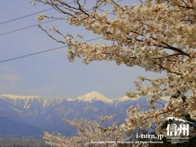 中腹より下からみた常念岳と桜