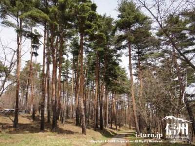 アカマツの林