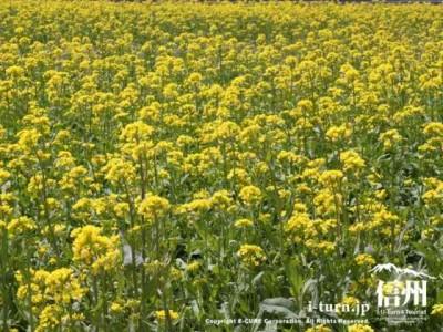 菜の花の黄色い絨毯