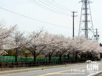 南部公園の周りに植えられた桜